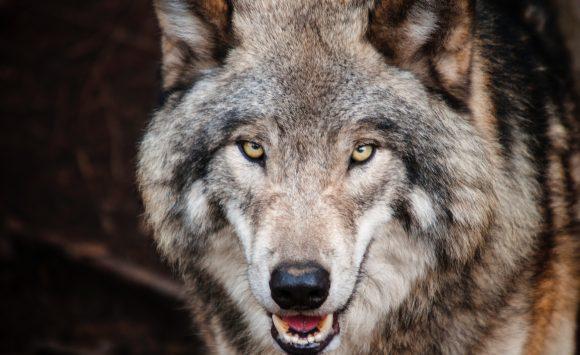 Alphatiere – Die mit dem Wolf tanzt