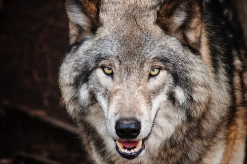 Wolf2